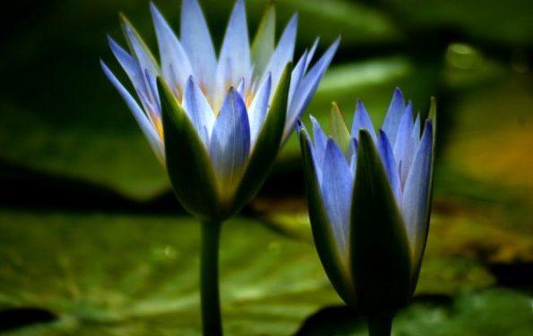 Il segreto del Fiore di Loto